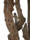 A Vervet Monkey Peers from a Treetop Perch Photographic Print by Beverly Joubert