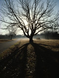 A Large Spreading Oak Dwarfs a Brace of Cannon Photographic Print by Sam Abell