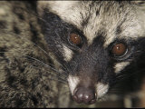A Malayan Civet Stares into the Camera Photographic Print by Tim Laman