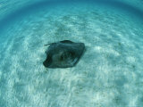 A Southern Stingray, Dasyatis Americana, Lies on a Sandy Sea Floor Photographic Print by Brian J. Skerry