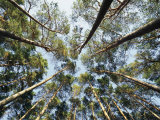 A View of Towering Trees, Looking up at Them from Below Photographic Print