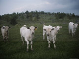 Curious Cattle in a Field Photographic Print