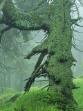 Old Fir Tree with Moss Photographic Print by Norbert Rosing