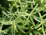 A Detail of Miniature Lupines with Frozen Leaves and Water Droplets Fotografie-Druck