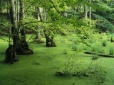 Swamp Landscape, Jasmund National Park, Germany, Photographic Print