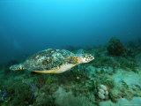 An Endangered Hawksbill Turtle, Eretmochelys Imbricata, Swimming Photographic Print by Brian J. Skerry