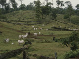 Brahman Cattle on Pasture Cleared from Rain Forest Photographic Print