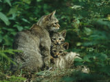 Wildcat with Young, Bayerischer Wald National Park, Germany Photographic Print by Norbert Rosing