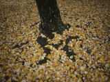 Autumn Leaves Surround a Tree Trunk Photographic Print by Sam Abell