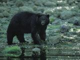 Black Bear Fishing Photographie par Joel Sartore