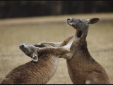 Male Red Kangaroos Sparring, Australia Photographic Print
