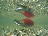 Red and Green Male Sockeye Salmon in Spawning Color, Summit Lake Photographic Print by Michael Melford