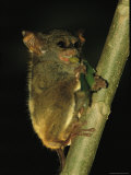 A Tarsier Climbs a Tree as it Feeds on an Insect Photographic Print by Tim Laman