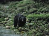Black Bear Fishing Photographic Print by Joel Sartore