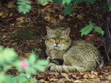 Wildcat in Forest Photographic Print