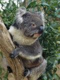 A Close View of a Koala in an Eucalyptus Tree Photographic Print by Medford Taylor