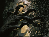 Curled Claws of the Padang Monitor Lizard, a Newly-Discovered Species Photographic Print by Tim Laman