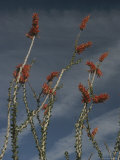 Ocotillo Photographic Print by Phil Schermeister