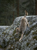 A Wolf Climbs Down a Rock Photographic Print by Mattias Klum