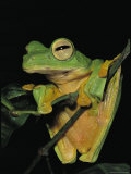 Close View of a Wallaces Flying Frog Hanging on a Twig Photographic Print by Tim Laman