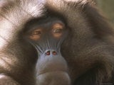 Portrait of a Gelada Baboon Photographic Print by Joel Sartore