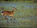 A Sika Deer Runs Through a Chincoteague Marsh Photographic Print by Medford Taylor