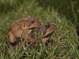 A male and a female American toad mating in the grass Lámina fotográfica por Brian Gordon Green