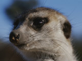 A Close View of a Meerkats (Suricata Suricatta) Face Photographic Print by Mattias Klum
