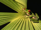 Red-Eyed Tree Frog in Costa Rica Photographic Print by Roy Toft