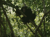 Shrieking Chimpanzee in Tree Photographic Print by Michael Nichols