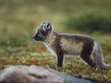 A Young Arctic Fox Photographic Print by Norbert Rosing
