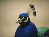 Close View of a Peacocks Brilliant Blue Head Photographic Print by Joel Sartore