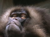 Portrait of a Gelada Baboon at Rest Photographic Print by Joel Sartore