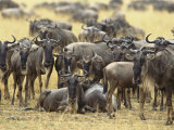 A Herd of Wildebeests Looking at the Camera Photographic Print