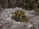 Close View of Canada Goslings Huddled in Their Nest Photographic Print