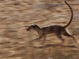 An Adult Meerkat Runs Through the Kalahari Desert Photographic Print by Mattias Klum