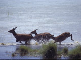 Sika Deer Running Through Marsh Water, Chincoteague, Virginia Photographic Print by Medford Taylor