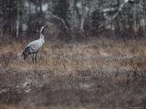 A Common Crane Stands on Marshy Ground in a Light Snowfall Photographic Print by Mattias Klum