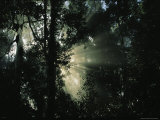 Sunlight Shines Through Borneos Rain Forest Photographic Print by Tim Laman