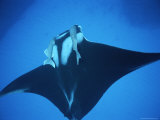 Two Remoras Hitch a Ride on the Head of a Manta Ray, Manta Birostris Photographic Print by Brian J. Skerry