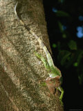 A Green Iguana on the Trunk of a Tree Photographic Print by Roy Toft