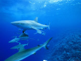 Gray Reef Sharks, Bikini Atoll, Marshall Islands, Micronesia Photographic Print by Joe Stancampiano