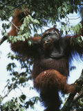An Adult Male Orangutan Eats Durian Fruit in a Tree Photographic Print by Tim Laman