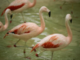 A Flock of Chilean Flamingos Wading in a Shallow Pool Photographic Print by Joel Sartore