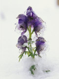 Blue Monkshood Flowers in Ice, Berchtesgaden National Park, Germany Photographic Print by Norbert Rosing
