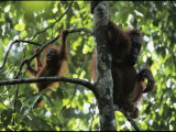One-Year-Old Orangutan Named Bekti and Her Mother Beth in a Tree Photographic Print by Tim Laman
