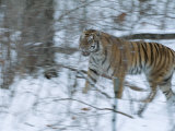 A Captive Siberian Tiger (Panthera Tigris) Plays in the Snow Photographic Print by Michael Nichols