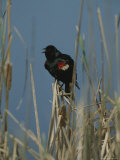 A Male Tricolored Blackbird (Agelaius Tricolor) Clings to Dry Rushes Photographic Print