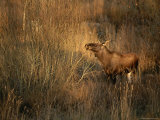 A Moose Stands in Golden Light Amidst Grasses and Shrubs Photographic Print by Mattias Klum