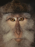 The Face of a Long-Tailed Macaque Photographic Print by Tim Laman